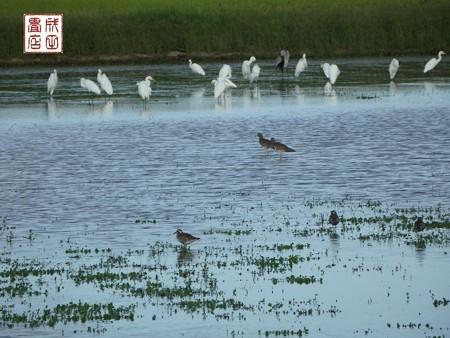 休耕田の鳥11