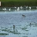 写真: 休耕田の鳥11