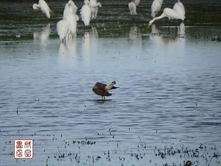 休耕田の鳥13