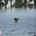 写真: 休耕田の鳥13