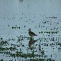 写真: 休耕田の鳥17