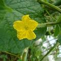 Photos: 150725-5 キュウリの花