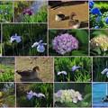 Photos: 小松市 木場潟公園の花菖蒲園とヨーロッパガチョウ