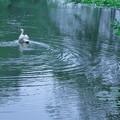 白鳥 睡蓮池で
