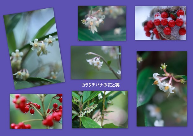 カラタチバナの花と実