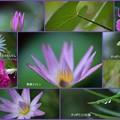 8月の花(2) 熱帯スイレン