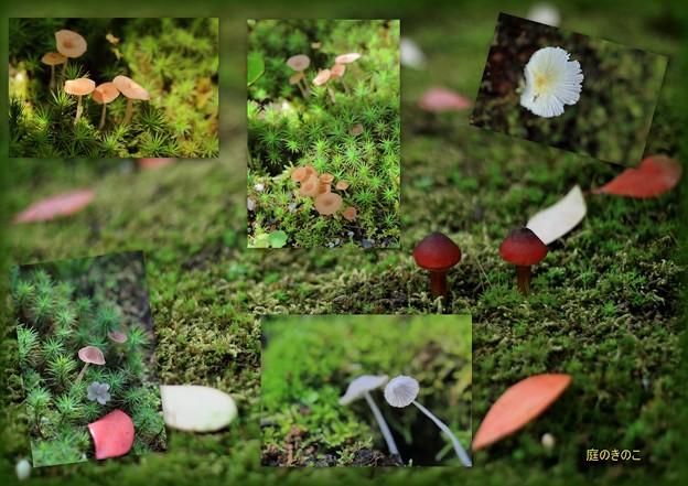 庭のキノコ