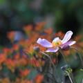 シュウメイギク  ドウダンツツジの紅葉