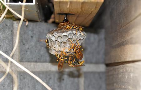 アシナガ蜂