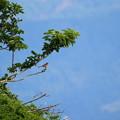 Photos: ホオジロの幼鳥