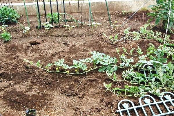 6.26ジャガイモ収穫後コダマすいかをのびのびとs