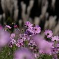 秋桜の詩'15-15