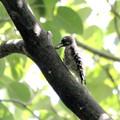 ミズキの実を食するコゲラ