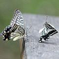 Photos: ナミアゲハ蝶の求愛ダンス