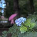 写真: 狂い咲き-1240