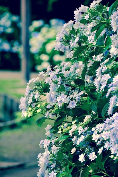 散歩道沿いに咲く紫陽花。。横須賀しょうぶ園 6月13日