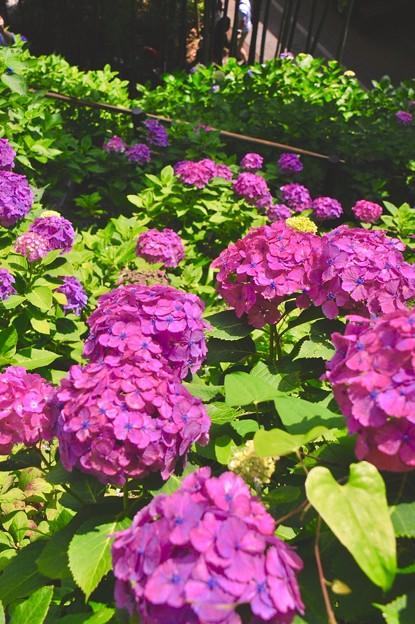 梅雨の晴れ間に紫の紫陽花。。長谷寺 6月20日
