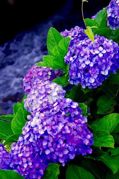 水路沿いに咲く紫陽花。。神奈川県開成町あじさいの里 6月21日