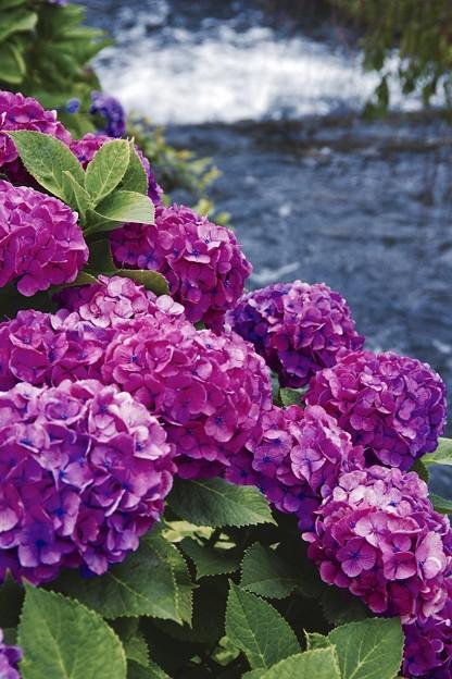 瑞々しく咲く紫色の紫陽花。。開成町あじさいの里
