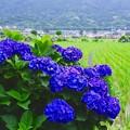 田植えも終えて。。その横で咲く青々とした紫陽花。。6月21日