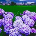綺麗な田んぼに彩りを添えて。。開成町あじさいの里 6月21日