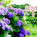 あじさい農道に咲く誇る紫陽花。。開成町あじさいの里 6月21日