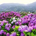 神奈川県の山々とたくさんの紫陽花。。開成町あじさいの里6月21日