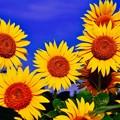 夏の青空と咲くヒマワリ。。座間栗原7月26日