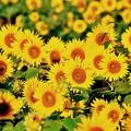 見ているだけで元気になる夏の花。。ひまわり 座間栗原7月26日
