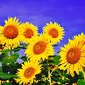 鮮やか青と黄色の風景。。座間栗原7月26日