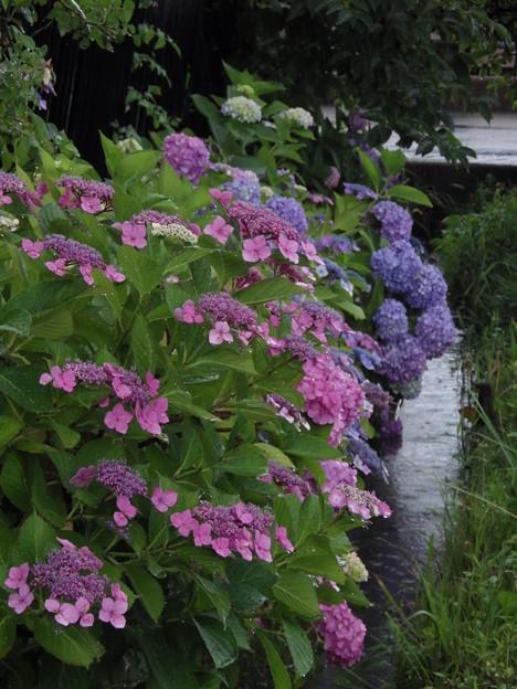 濡れ紫陽花 vol.1