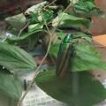 昆虫界の宝石タマムシちゃん