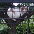 Photos: 木の上で寝る野良猫2( 拡大)。スマホじゃ画質が悪い。