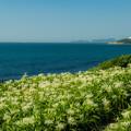 写真: 夏井ヶ浜のはまゆう♪?