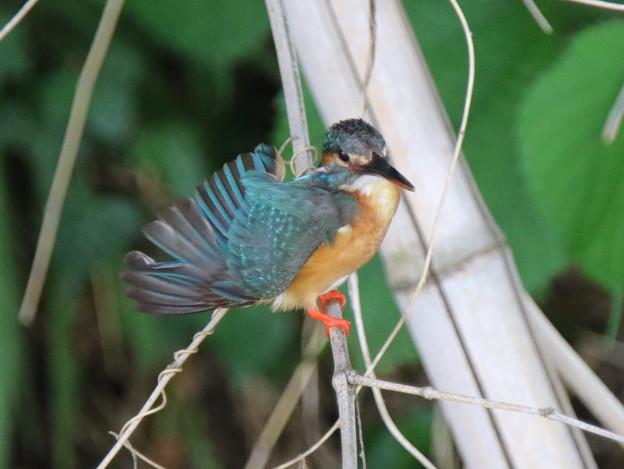 写真: 幼鳥の舞