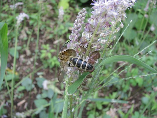 ツルボとヒメハラナガツチバチ