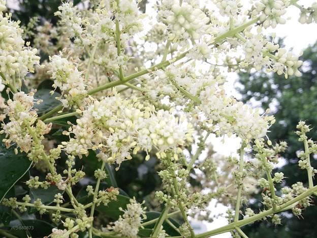 トウネズミモチの白い花♪