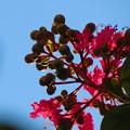 ルビーのように輝く百日紅の花♪