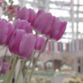 Photos: 紫のチューリップ